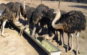 درامد پرورش شترمرغ