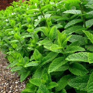طرح توجیهی گلخانه گیاهان دارویی (98)