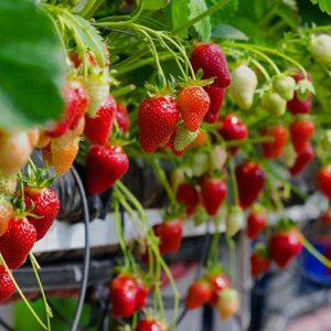 طرح توجیهی گلخانه هیدروپونیک توت فرنگی (98)