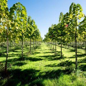 طرح توجیهی کاشت درخت پالونیا (98)