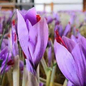 دانلود طرح توجیهی کاشت زعفران بدون خاک در گلخانه 98
