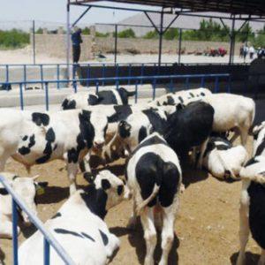طرح توجیهی پرواربندی گوساله 50 رأسی 98 | طرح توجیهی گاوداری گوشتی 50 راسی سال 98
