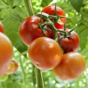 طرح توجیهی گلخانه هیدروپونیک گوجه فرنگی 1000 متری 98