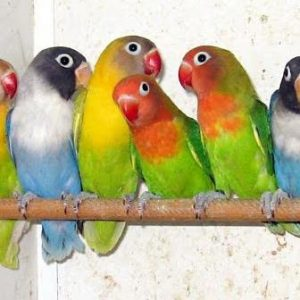 طرح توجیهی پرورش پرندگان زینتی  99 | برآورد وام پرورش پرندگان زینتی