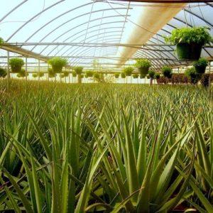 طرح توجیهی احداث گلخانه آلوِِئه ورا (98)