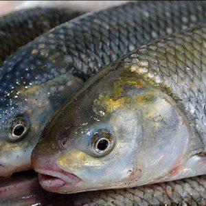 طرح توجیهی پرورش ماهی در قفس (96)