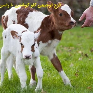 دانلود طرح توجیهی پرواربندی گوساله 10 راسی  طرح توجیهی گاو گوشتی 10 راسی 98