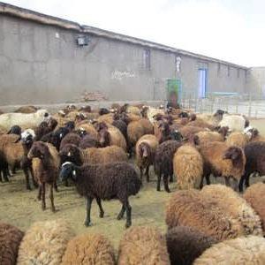 طرح توجیهی گوسفند داشتی 300 رأسی سال 98